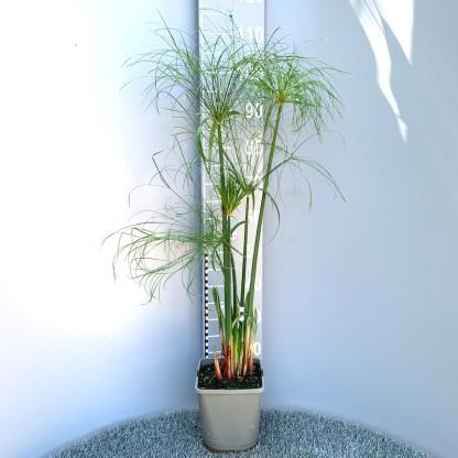 Cyperus papyrus 'Nanus' 4 litre plant at Big Plant Nursery