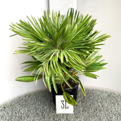 Chamaerops humilis 'Vulcano' 3 litre plant at Big Plant Nursery