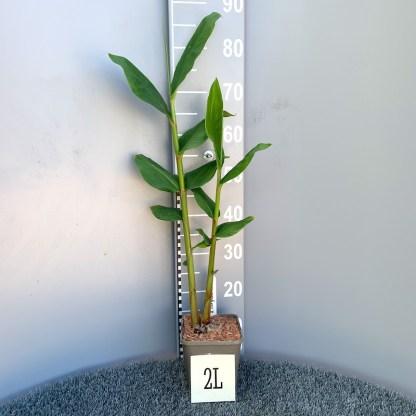 Hedychium chrysoleucum 2 litre plant at Big Plant Nursery