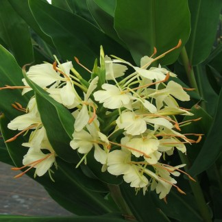 TrescoHedychium Hybrid close up of flower at Big Plant Nursery