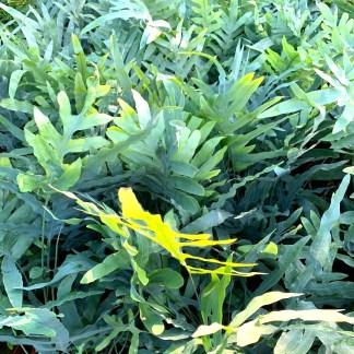 Phlebodium aureum 'Blue Star' mature plants at Big Plant Nursery
