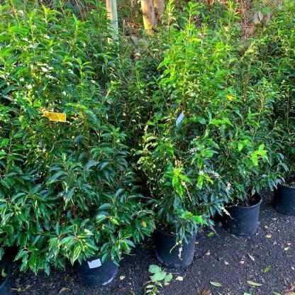 Prunus lusitanica 'Angustifolia' 15 litre plants at Big Plant Nursery