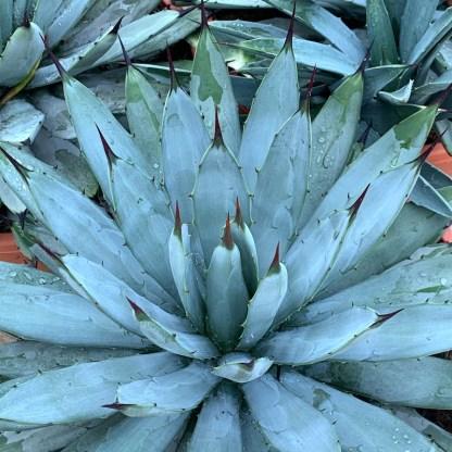 Agave macroacantha plants at Big Plant Nursery