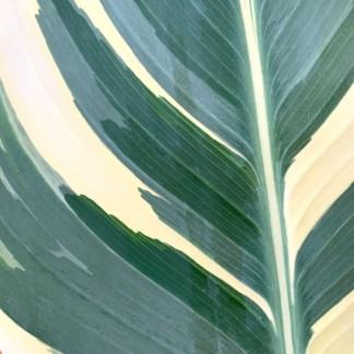 Canna 'Stuttgart' showing dark green, light green and cream leaf colour