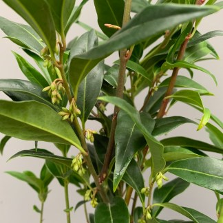 Sarcococca hookeriana 'Winter Gem' close up of leaves and stems showing flower buds at Big Plant Nursery