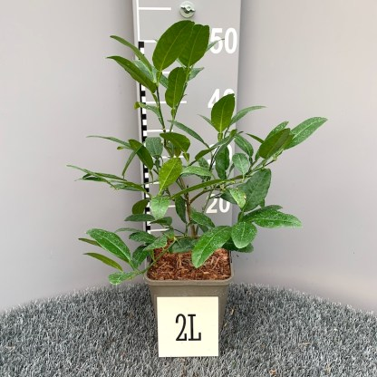 Citrus junos 'John Lemon' (Yuzo) 2 litre plant grown at Big Plant Nursery