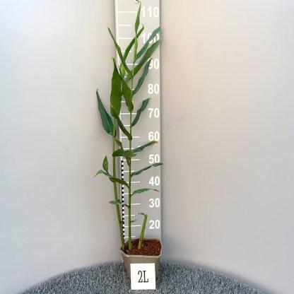 Hedychium x Shamsheri 2 litre plant at Big Plant Nursery
