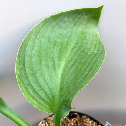 Hosta 'Empress Wu' leaf at Big Plant Nursery