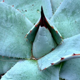 Agave parryi var. Huachucensis close up of new growth