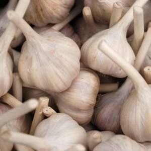 Chesnok Red Hardneck Garlic Culinary Bulbs