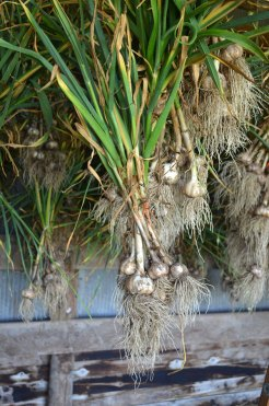 Harvested garlic hung to dry