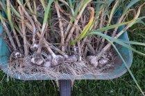 Harvested Garlic in the Wheelbarrow