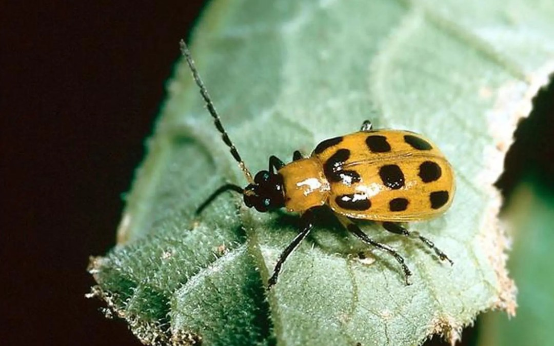 Need Solutions For Cucumber Beetle And Bacterial Wilt?