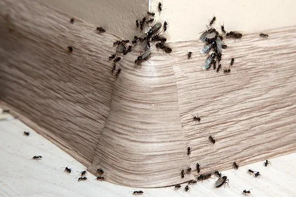 Discover Ways To Get ants out of your house and keep them out!