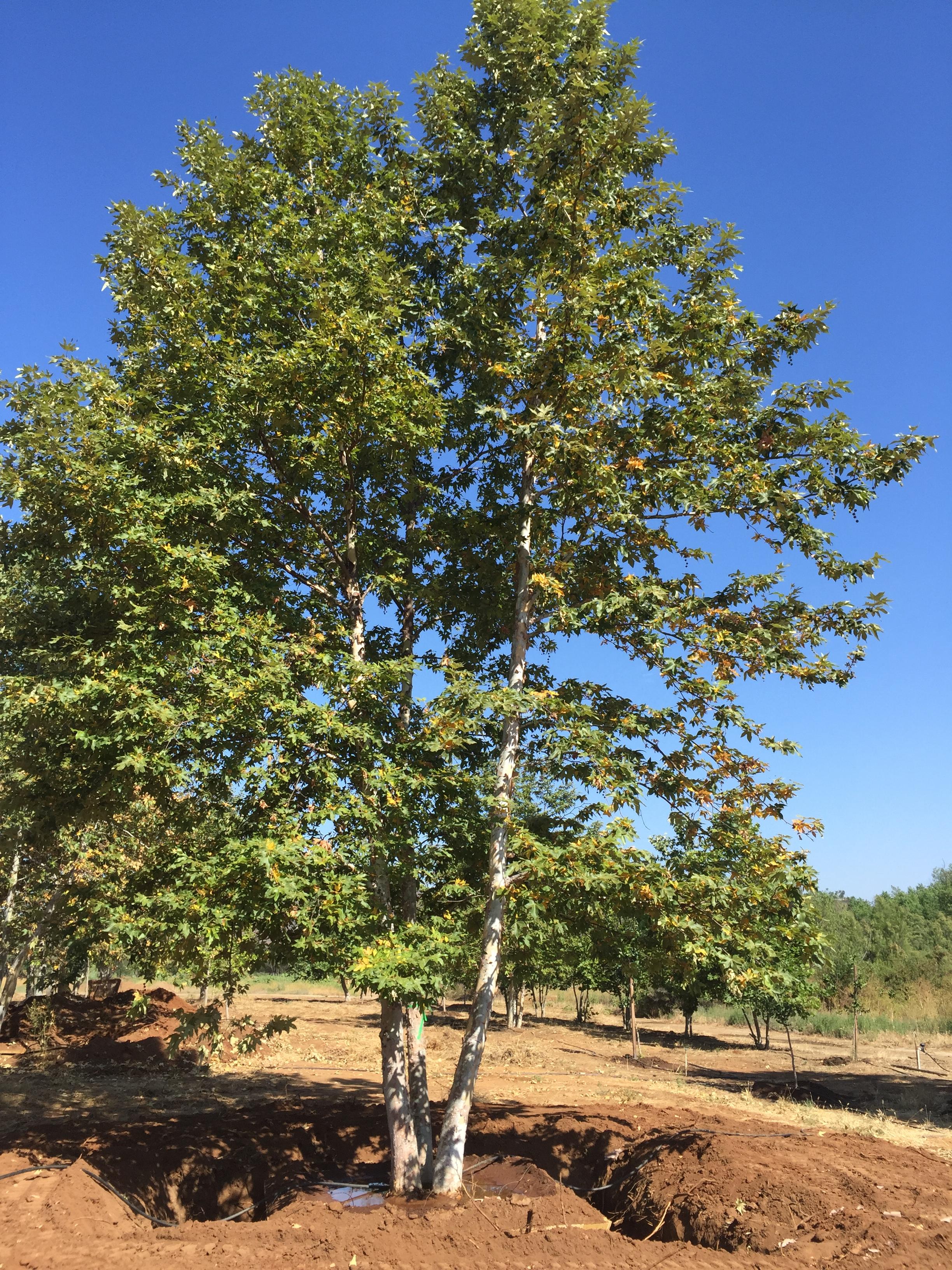 Platanus Racemosa California Sycamore Big Trees Nursery