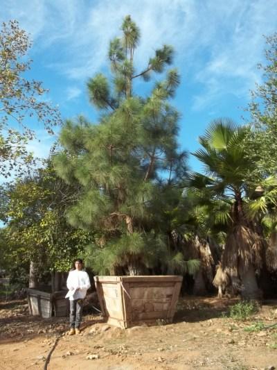 Pinus canariensis – Canary Island Pine | Big Trees Nursery