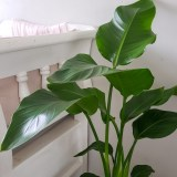 luchtzuiverende planten, strelitzia kamerplant