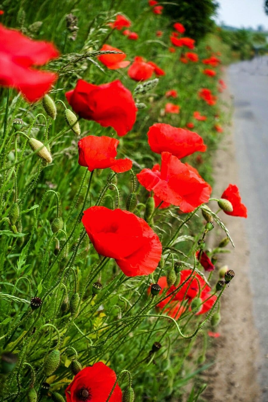 Finding poppies on a bike ride through the UK
