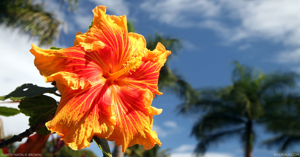 The Flowers Of Hawaii Your Flower Identification Guide On Maui