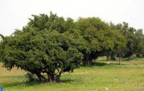 الأركان.. الشجرة المباركة في الأرض المباركة