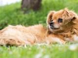 Pekinez Köpek