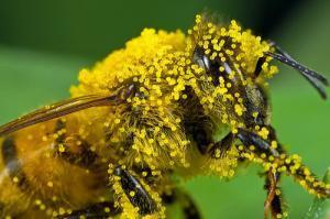 3764 polen 2 300x199 - What Is Bee Pollen?