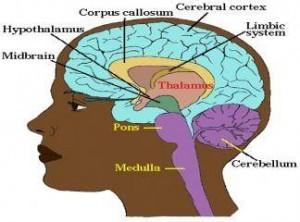 9890 corpus callosum nedir 2 4784 300x222 - The basic structure of the brain; the left and right hemispheres