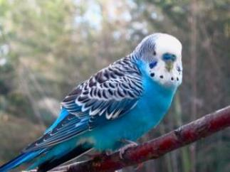blue parakeet by midoriakaryu d67kcj5 300x225 - Why budgerigar Vomit ?
