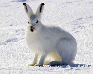 13131 img 20180509 wa0010 300x240 - What Life Was Like For The Arctic Hare?