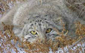15202 pallas 2 - All Facts about Pallas Cats
