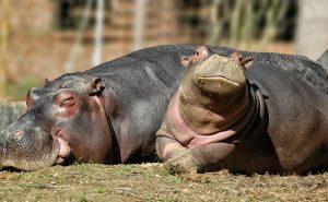 Su ayg%C4%B1r%C4%B1 3 300x185 - Information about the hippopotamus