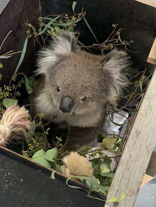 avusturya koala