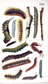 Çeşitli türlere ait dal gibi görünen, tüylü, renkli tırtıllar ve farklı kelebek pupaları çizimleri