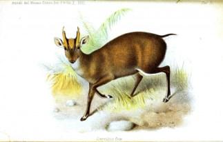 Kafasının üstü açık renkli olan bir hindistan geyik türü