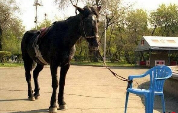 Öğrenilmiş çaresizlik yaşayan at