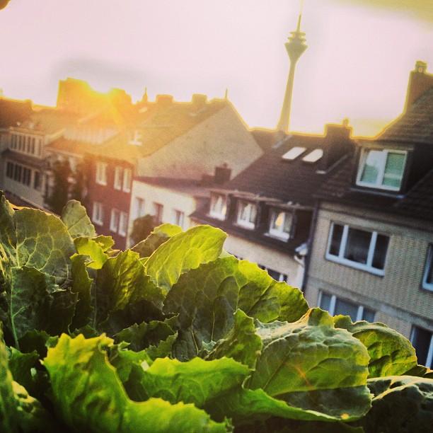 Salat auf der Fensterbank anbauen – bester Schutz gegen Schnecken :-)