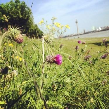 Hoffe die Wildblumenwiese am Deich bleibt den Bienen und Hummeln noch eine Weile erhalten...