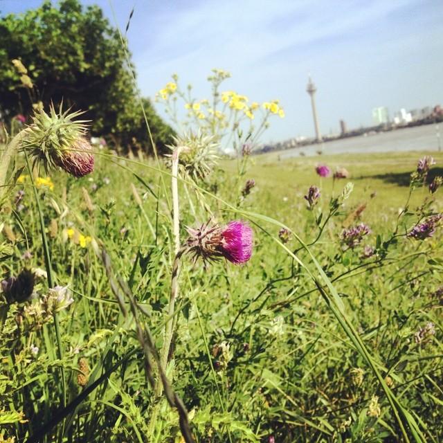 Hoffe die Wildblumenwiese am Deich bleibt den Bienen und Hummeln noch eine Weile erhalten…