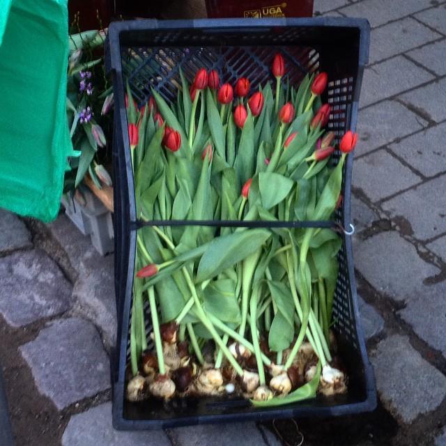 Tulpen gibt es auch als Setzling - perfekt für alle die es nicht mehr bis zum Frühling abwarten können ;-)