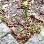 Die ersten Frühlingsboten in der Baumscheibe  vorm Haus...