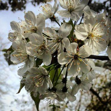 Cherry blossom im Florapark.