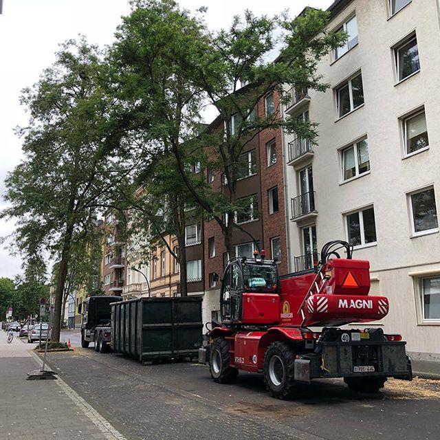 Fällungen auf der Florastraße – 2 von 340 Bäumen die gefällt werden sollen.