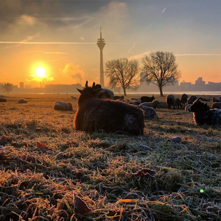 Schafsweide mit Blick auf die Skyline der Stadt… hat schon was