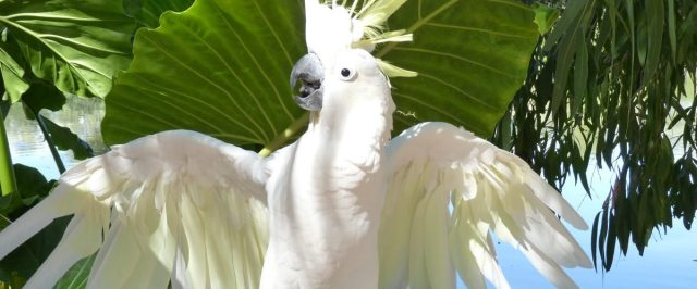 Image result for why cockatoo parrots are the best pets