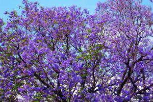 jacarandatree