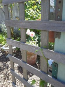 A dahlia near the potting bench