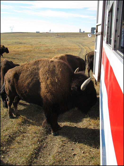 Image result for bison on a train