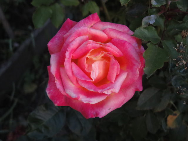 A pretty pink rose in Alice Street Community Gardens. San Francisco, United States, North America.