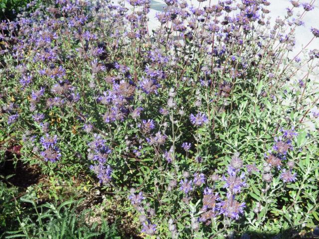 Pretty purple charmers in Yerba Buena Gardens. San Francisco, United States, North America.