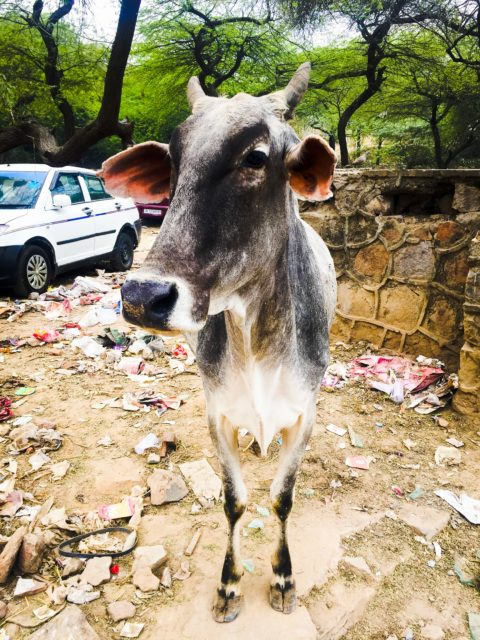A cow in the wilds of Delhi. India, Asia.